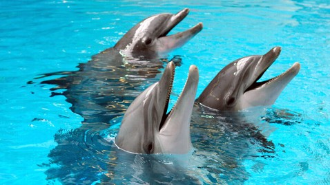 gty bottlenose dolphin tk 120328 wblog Dolphins Lead Complicated Social Lives