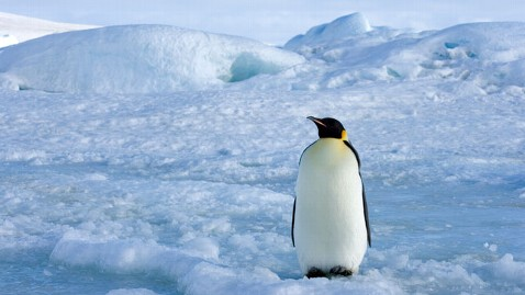gty emperor penguins lpl 120620 wblog Emperor Penguins Threatened By Shrinking Kingdom
