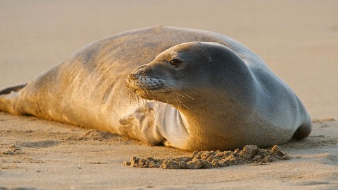 gty hawaiin monk seal jt 120107 wblog Endangered Seals Bludgeoned to Death in Hawaii