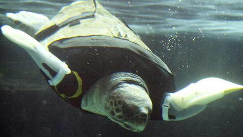 gty turtle yu dm 130212 wblog Loggerhead Sea Turtle Gets Artificial Flippers After Shark Attack