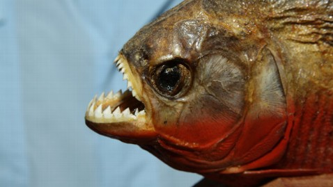 ht Arapaima piranha jt 120211 wblog Could a Piranha Proof Fish Help The Military?