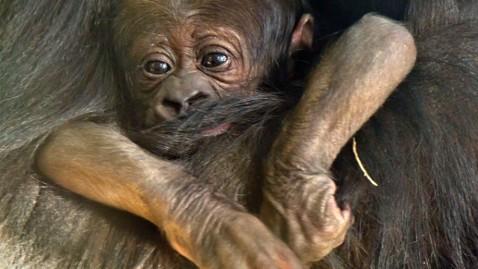 ht baby gorilla wm dm 111121 wblog Baby Gorilla Dies at Chicago Zoo