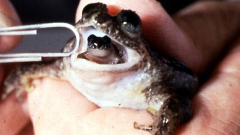 ht gastric brooding frog nt 130322 wblog Frog That Gives Birth Through Mouth to be Brought Back From Extinction