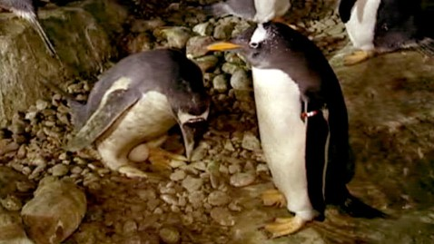 ht gay penguins gets egg madrid thg 120523 wblog Madrid Zoos Gay Penguins Given Egg of Their Own