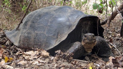 ht giant tortoise jef 120110 wblog Extinct Galapagos Tortoise Turns Up on Distant Island