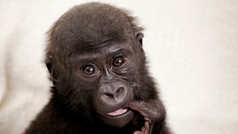 ht okanda gorilla cc 111130 wblog British Zoo Keepers Wont Smile at Baby Gorillas To Help Them Survive