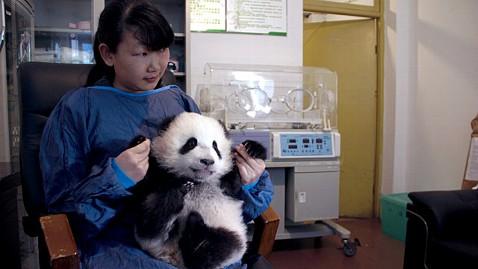 ht panda study 3 jp 112811 wblog Panda monium: Chinese Researchers Don Panda Suits To Study Pandas