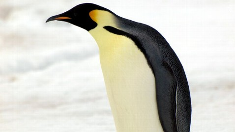 ht penguin2 jef 120413 wblog Emperor Penguin Count 600K in Antarctica, Satellite Images Reveal