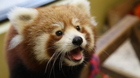 ht red panda cub in tennessee tk 120822 wblog Red Pandas, Cursed by Their Adorable Looks, Face Extinction