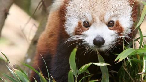ht red panda darjeeling india close up tk 120822 wblog Nightline Daily Line, Aug. 22: Graham Spanier Exclusive