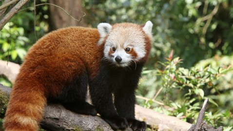 ht red panda darjeeling india tk 120822 wblog Red Pandas, Cursed by Their Adorable Looks, Face Extinction