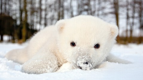 ht siku 6788 jef 120216 wblog Denmarks Adorable Baby Polar Bear Siku Will Not Be Another Knut, Handlers Say