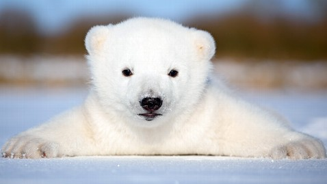 ht siku 7028 jef 120216 wblog Denmarks Adorable Baby Polar Bear Siku Will Not Be Another Knut, Handlers Say