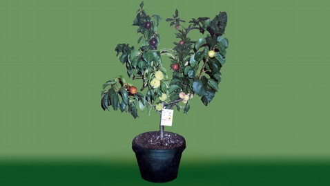 ht stone fruit tree nt 121001 wblog The Fruit Salad Tree