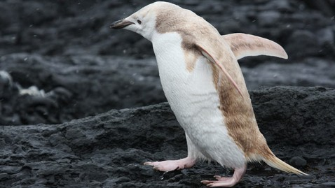 ht white penguin thg 120112 wblog Rare White Penguin Spotted in Antarctica