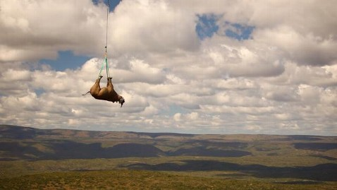 rhino%20relocation wblog Black Rhinos Lifted to Safety From Poachers
