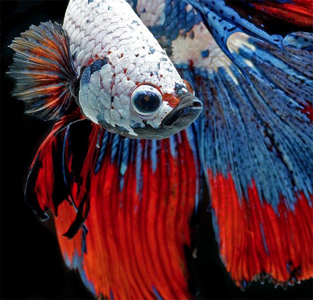 Visarute Angkatavanich fish4 wblog Breathtaking Photos of Siamese Fighting Fish