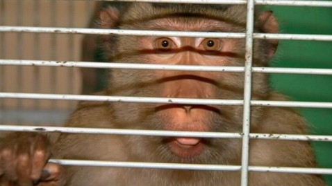 abc SCHRIFFEN monkey loose thg 120910 wblog Escaped Pet Monkey Terrifies Fla. Neighborhood