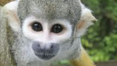 abc gma banana sam jt 111231 wblog Reward for S.F. Zoo Monkey on Hold as Police Investigate