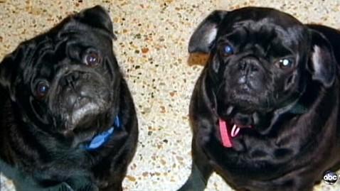 abc pet pugs jp 120628 wblog African Bees Kill Dogs, Injure Florida Woman