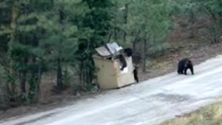 abc yt bear rescue 120725 440x248 3 Bear Cubs Rescued From Dumpster