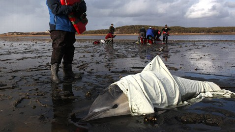 ap Dolphin Stranding jt 120204 wblog Hundreds of Dolphins Stranded on Cape Cod Beach