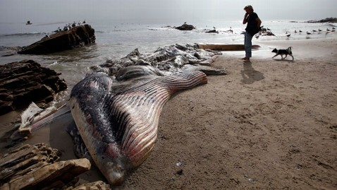 ap dead whale jef 121207 wblog Dead Whale on Malibu Beach Stinking Up Celeb Homes