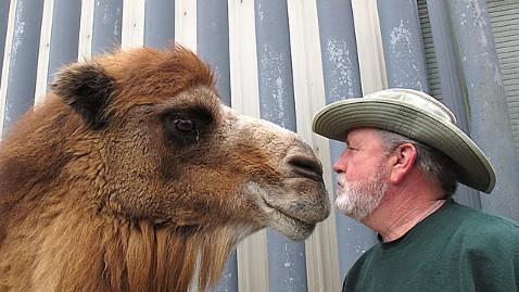 ap princess camel dm 120127 wblog Camel Predicts Super Bowl Winner