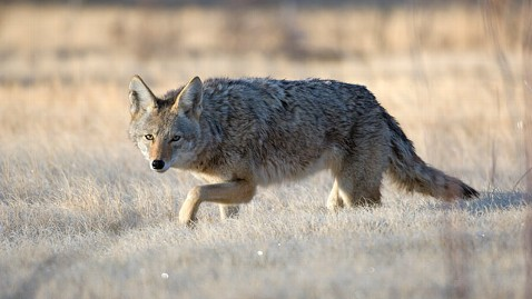gty coyote new mexico jt 121117 wblog Coyote Killing Contest Sparks Outrage in New Mexico