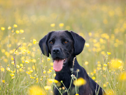 gty dog field flowers allergies thg 120322 main Allergies: How Pollen is Affecting Your Pet