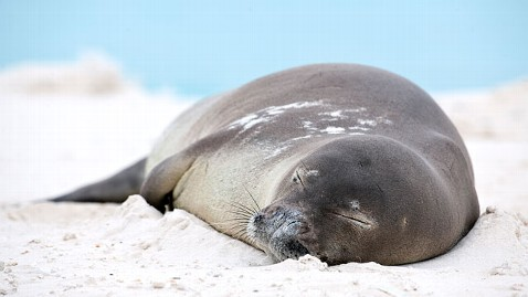 gty hawaiian monk seal 3 jt 120107 wblog Endangered Seals Bludgeoned to Death in Hawaii