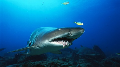 gty sand tiger shark jt 121201 wblog Shark Attack Victim: It Released Me and I Started Swimming as Fast as I Could