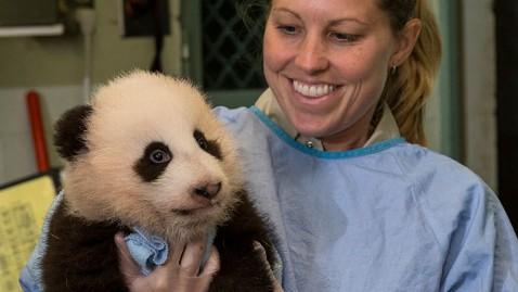 ht baby panda jef 121113 wblog Baby Panda Named at San Diego Zoo