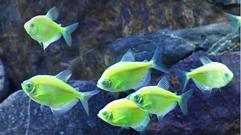 ht electric green glofish ll 120904 wblog Genetically Modified Neon GloFish Could Threaten Natural Species: Report