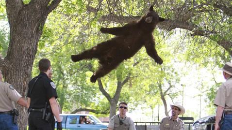 ht falling bear lt 120426 wblog Bear Tranquilized After Wandering Onto University of Colorado Campus