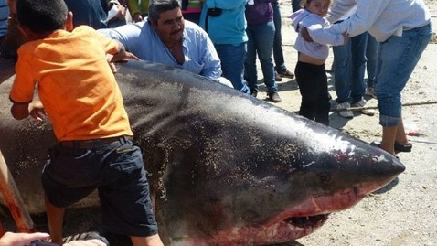 ht great white shark dm 120419 wblog Jaws Dad? 2,000 Pound Shark Caught in Mexico