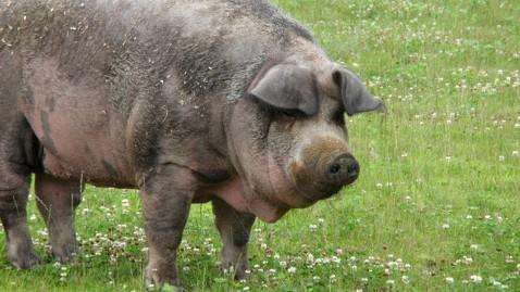 ht miss colby pig perry hill farm lpl 121023 wblog Hero Pig Tracks Missing Cat