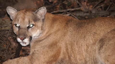 ht mountain lion mr 120814 wblog Mountain Lion Calls Los Angeles Griffith Park Home