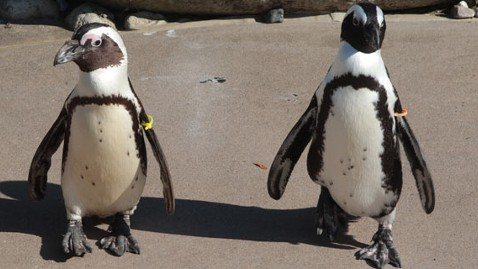 ht pedro buddy penguins jef 111108 wblog Toronto Zoos Gay Penguins Attracted to New Female Partners