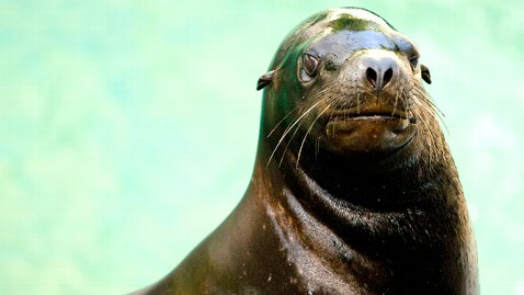 ht puff sea lion jt 121006 wblog Puff the Beloved Sea Lion Dies Unexpectedly at New York Zoo
