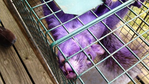 ht purple squirrel jp 120209 wblog Couple Catches Purple Squirrel in Pennsylvania
