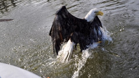 ht snared bald eagle thg 130409 wblog Bald Eagle Caught in Snare on Familys Fishing Trip