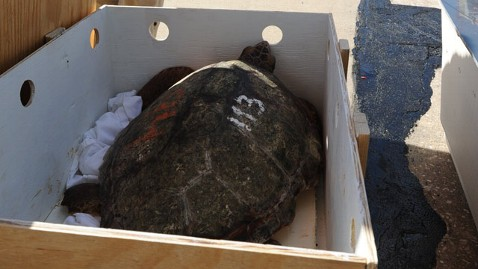 ht turtles fly south jt 121209 wblog Threatened Sea Turtles Flown to Florida