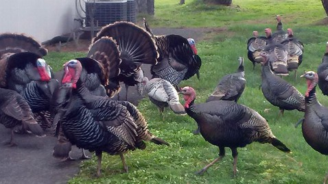 ht wild turkey nt 130430 wblog Last Gobble for Oregon Wild Turkeys