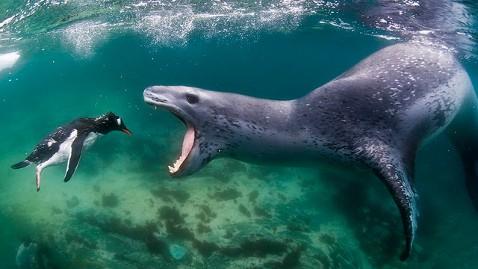 https://abcnews.go.com/images/US/ld_seal_penguin_mi_130125_wblog.jpg