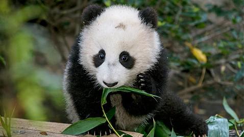 zp san diego zoo panda cub xiao liwu ll 130110 wblog Giant Panda Cub Makes Debut at San Diego Zoo