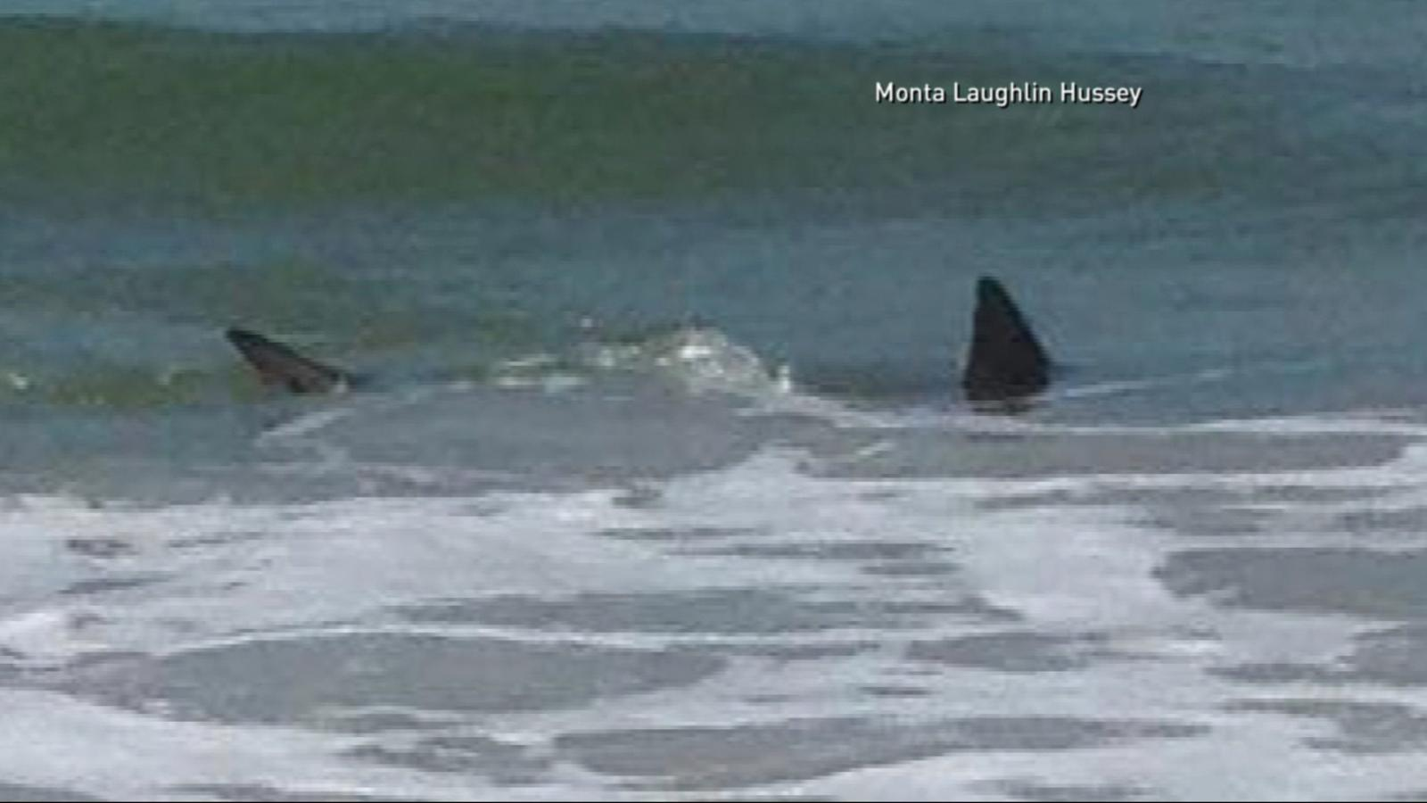 Shark attack photos and images abc news for Shark fishing nc