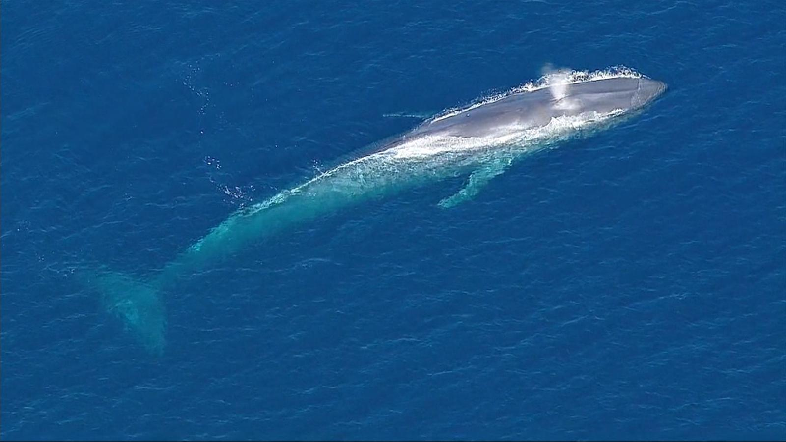Yes the adult blue whale